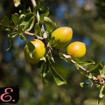 Дерево с плодами Аргании